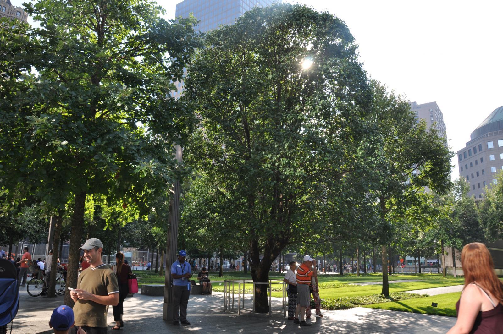 Surviving Tree at 9/11 Memorial