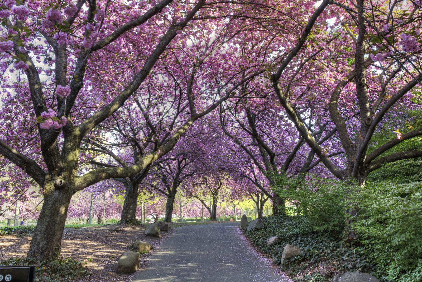 Cherry Blossoms Brooklyn Botanical Garden